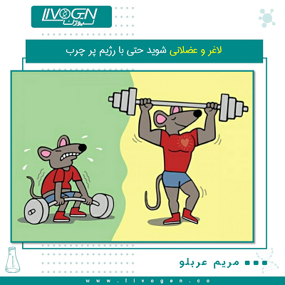 قوی و عضلانی شوید حتی با رژیم پر چرب ژن درمانی روی موش ها باعث شد که هم میزان زیادی وزن کم کننند و هم بدن ماهیچه ای و عضلانی داشته باشند محققان پزشکی دانشگاه واشنگتن برای کاهش درد و بهبود آرتروزکه یکی از علل ان چاقی و نداشتن عضله است با ژن در مانی روی موش پی بردند که از این طریق میتوان هم میزان زیادی وزن کم کرد و هم باعث ایجاد عضلات حجیم و قدرت مند شد و فرد دچار آرتروز که توان ورزش را ندارد حال میتواند به فعالیت خود بدون درد ادامه دهد هنگام تغذیه رژیم غذایی پرچرب (HFD). حیوانات با توجه به ویروس وابسته به ویروس آدنو (AAV) که رمزگذاری ژن برای فولیستاتین بود نیز نسبت به درد ناشی از آرتروز حساسیت کمتری داشتند و فواید قلبی عروقی را نشان دادند. این تیم پیشنهاد کرد که رویکرد ژن درمانی آنها ممکن است منجر به ایجاد استراتژیهای جدید درمانی OA شود ، به طور بالقوه برای چاقی و شرایط متابولیک مرتبط با آن و اختلالات هدر رفت ماهیچه ها نیز هست .