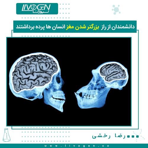 دانشمندان از راز  بزرگتر شدن مغز انسان ها پرده برداشتند
